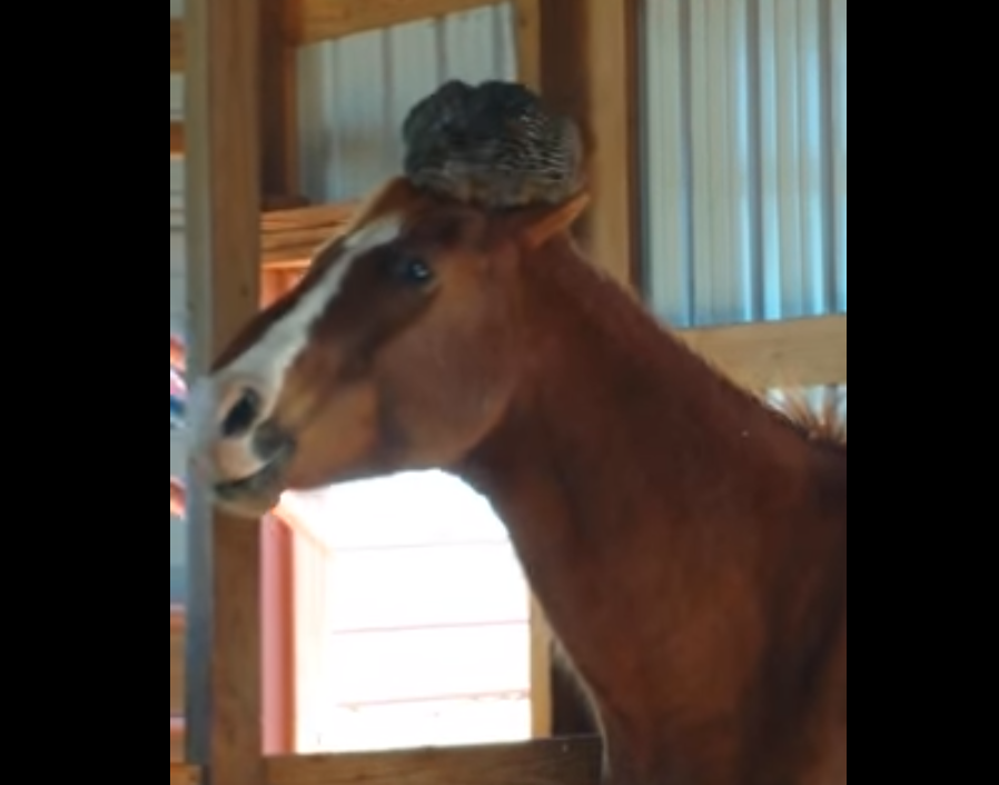 Lady is surprised to find this on her horse's head