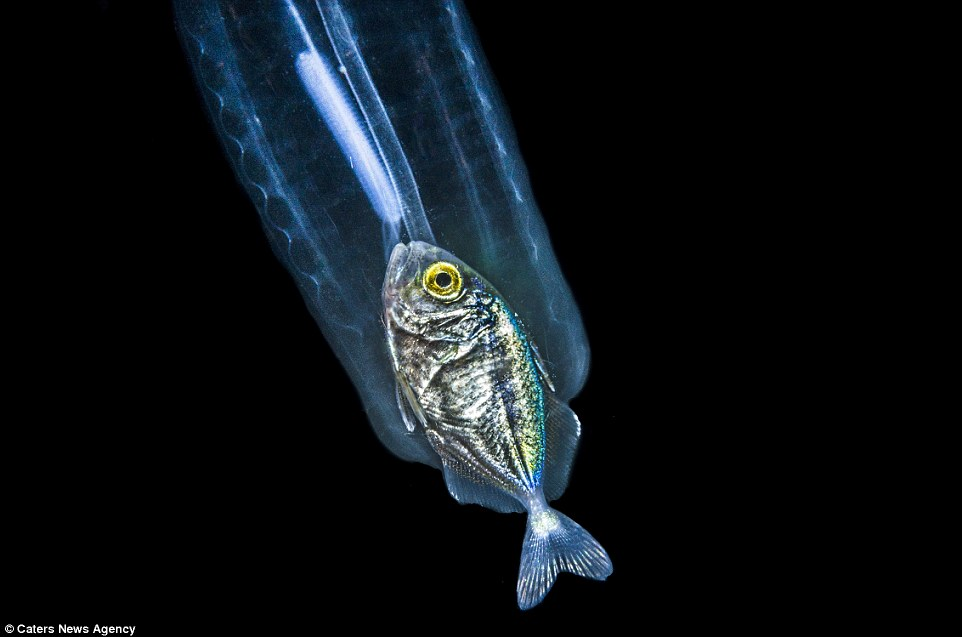 Eaten Fish Spotten in a Traslucent Sea Creature