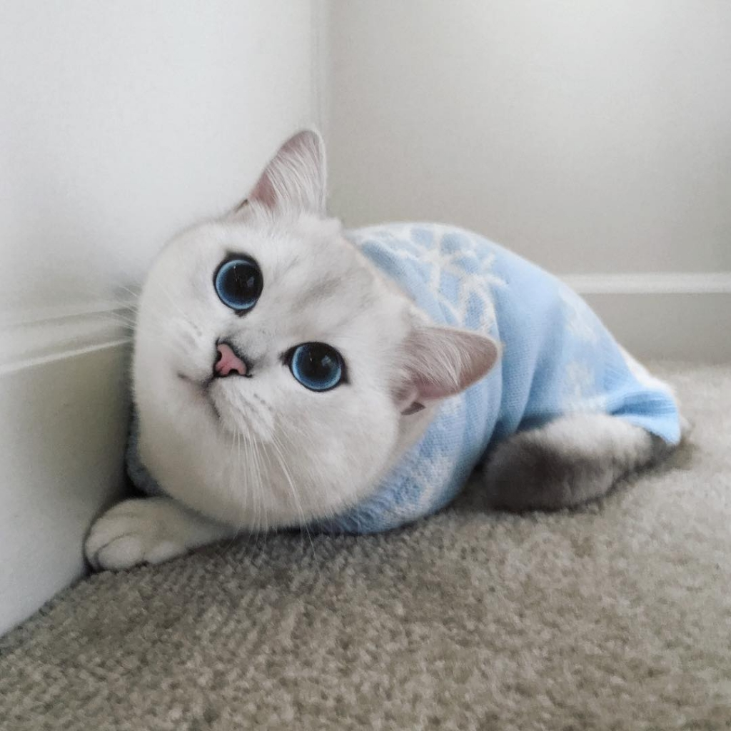 Coby the blue eyed cat is an Instagram sensation