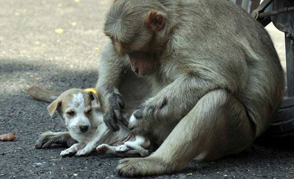 Monkey Takes Care Of The Puppy
