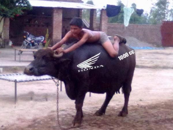 funny pic buffalo bike