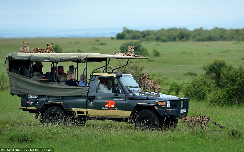 Cheetah And Family All over the Groups Land Cruiser