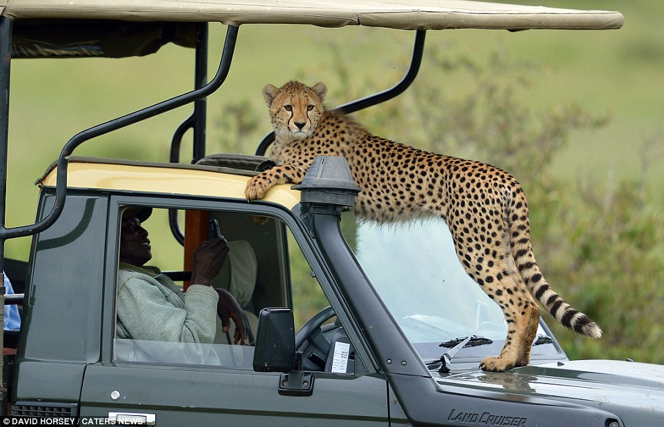 Cheetah and Family Lounge atop Land Cruiser
