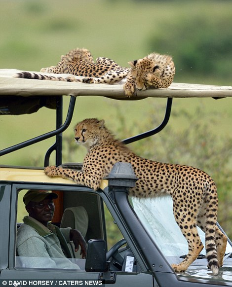 Scary moments when cheetah family came close