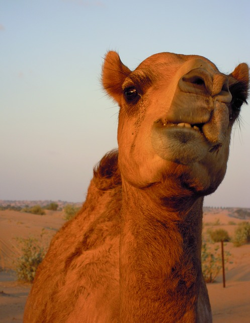 Angry Camel Bits Owner's Head After It Was Tied To Stand All Day In Heat