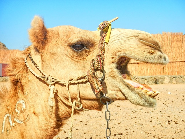 Tied In Heat All Day Angry Camel Bits Owner in Rajasthan India
