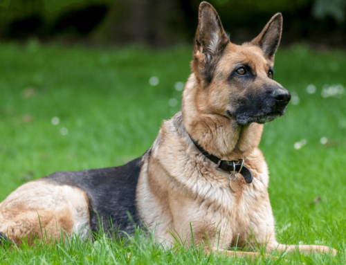 Some Ultimate Facts About The Majestic German Shepherd