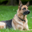 German Shepherd Dog - Debongo