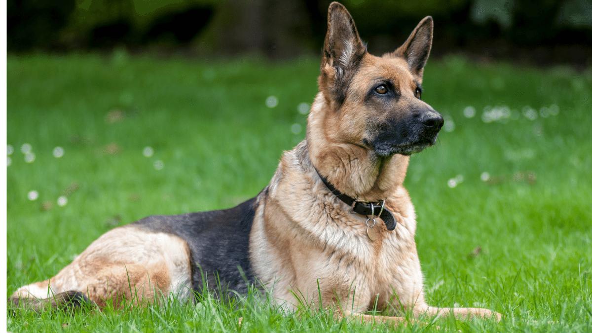 German Shepherd Dog - Debongo